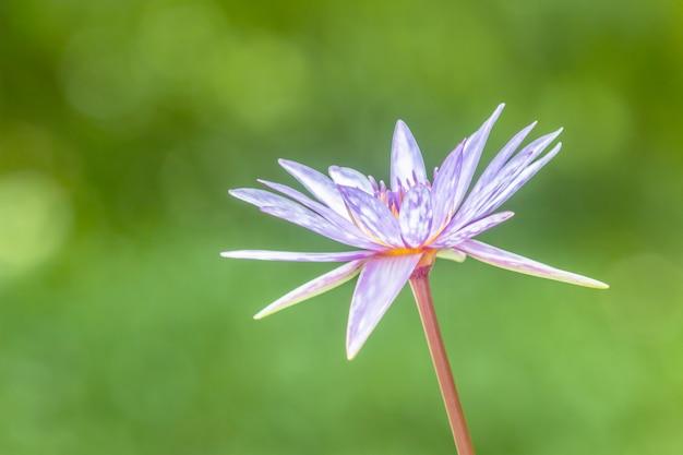 Kwiat lotosu piękna biała lilia wodna w stawie