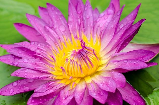 Kwiat lotosu piękny różowy lilia wodna w stawie