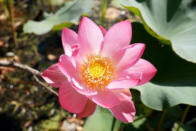 Kwiat lotosu w małym zbiorniku na terytorium regionu wołgograd