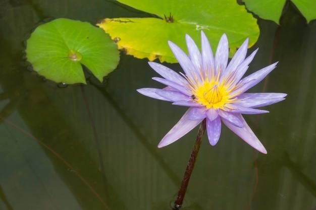 Kwiat lotosu w ogrodzie botanicznym, pień fotografia