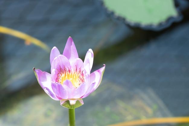Kwiat lotosu w stawie, wybierz ostrość. fioletowy i biały lotos ze światłem słonecznym.