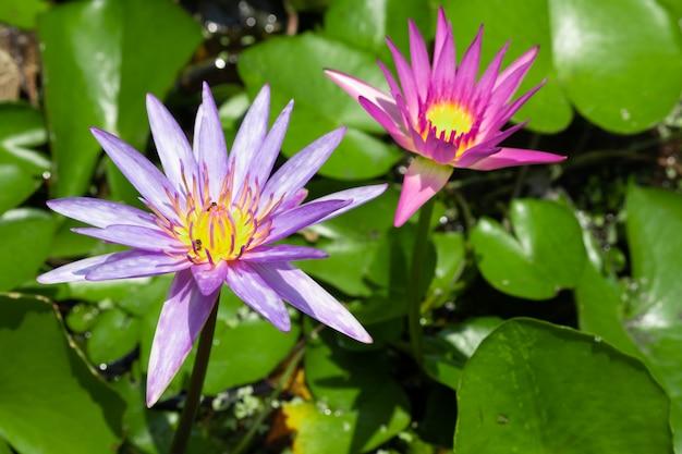 Kwiat lotosu w stawie, wybierz ostrość. purpurowy i różowy lotos z światłem słonecznym.