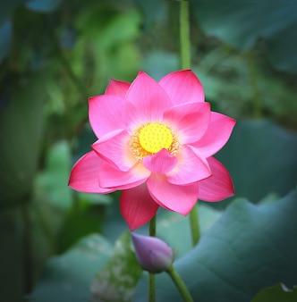 Kwiat lotosu w stawie