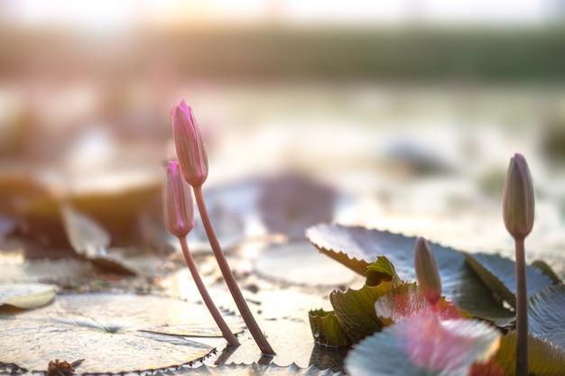 Kwiat lotosu w stawie.