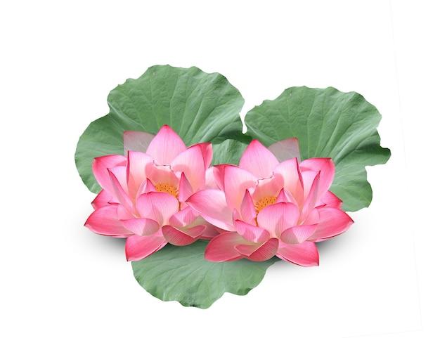 Kwiat lotosu z zielonymi liśćmi na białym tle