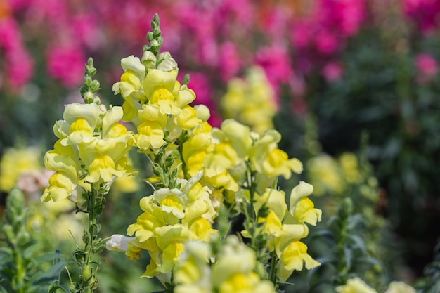 Kwiat lwia paszcza i zielony liść w ogrodzie