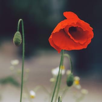 Kwiat maku. moda minimalizmu