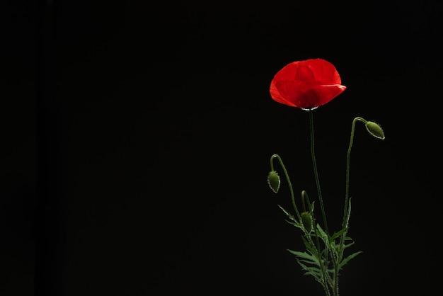 Kwiat maku na czarno na białym tle