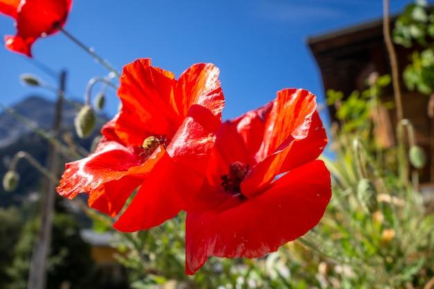 Kwiat maku z bliska widok