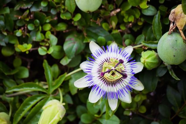 Kwiat męczennicy w tle roślin pnących. kwitną letnie kwiaty.