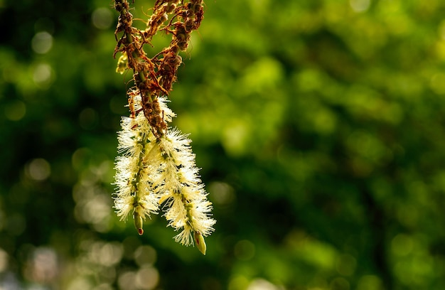 Kwiat melaleuca cajuputi w płytkiej ostrości z rozmytym tłem