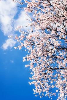 Kwiat migdałów na wiosnę