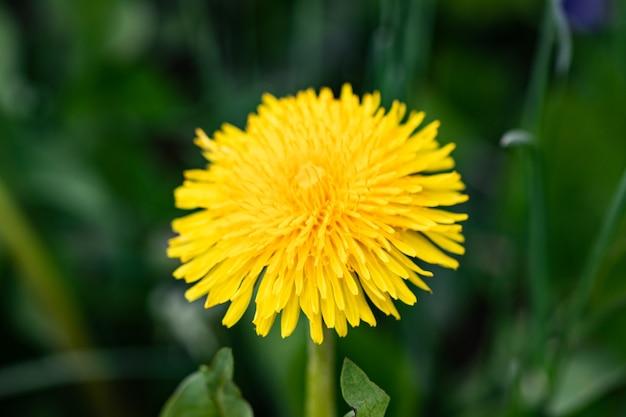 Kwiat mniszka na tle zielonej trawy z bliska.