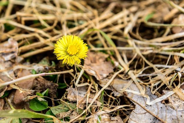 Kwiat mniszka wczesną wiosną.
