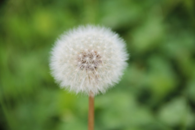 Kwiat mniszka z bliska na zielonym tle