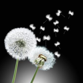Kwiat mniszka z latającymi piórami na czarnym tle
