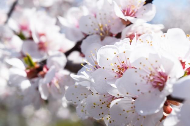 Kwiat moreli. backgrund świeża wiosna