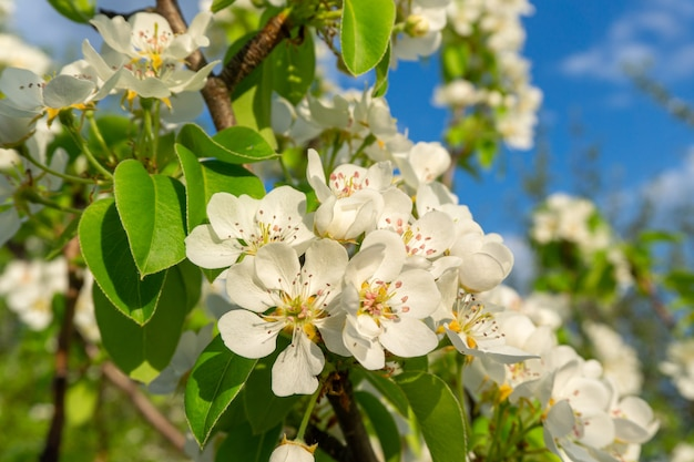 Kwiat na kwitnącej jabłoni bliska na wiosnę na tle nieba
