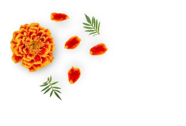 Kwiat nagietka na białym tle