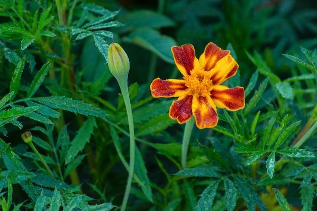 Kwiat nagietka na zielonym tle naturalnych