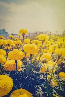 Kwiat nagietka w ogrodzie z efektem vintage.