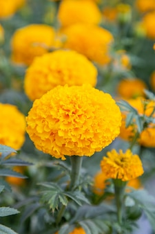 Kwiat nagietka żółty