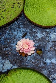 Kwiat największej lilii wodnej
