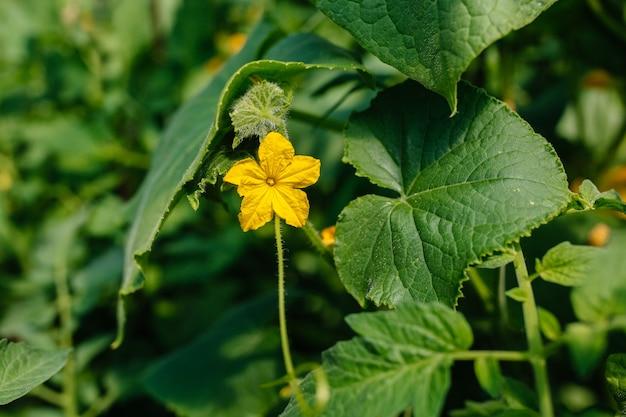 Kwiat ogórka
