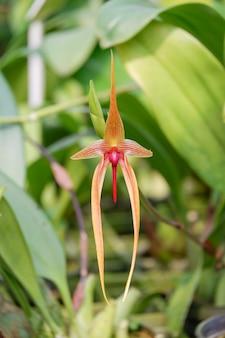 Kwiat orchidei bulbophyllum echinolabium z rodziny orchidaceae w tropikalnym ogrodzie