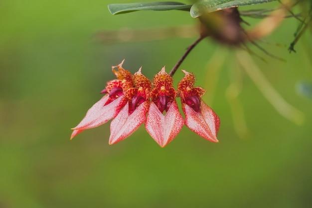Kwiat orchidei bulbophyllum z pomarańczowym płatkiem kwitnącym w tropikalnym ogrodzie