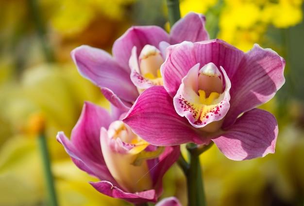 Kwiat orchidei cymbidium