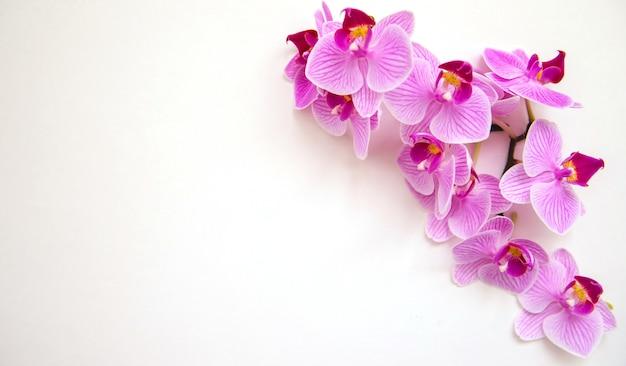 Kwiat orchidei na białym tle. kwiaty są koloru fioletowego. kwiatostan delikatny i piękny. puste miejsce na tekst.