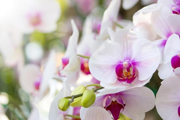 Kwiat orchidei phalaenopsis biały