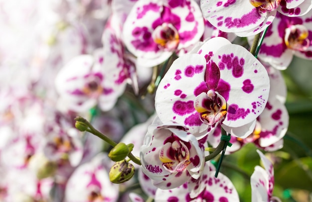 Kwiat orchidei phalaenopsis