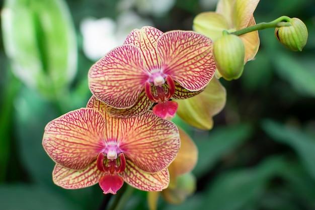 Kwiat orchidei w ogrodzie. kwiat w tle. skopiuj miejsce.