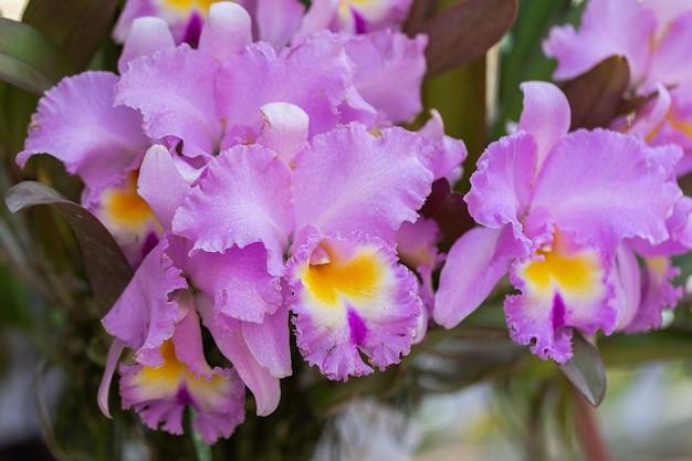 Kwiat orchidei w ogrodzie orchidei w zimowy lub wiosenny dzień. cattleya orchidaceae.