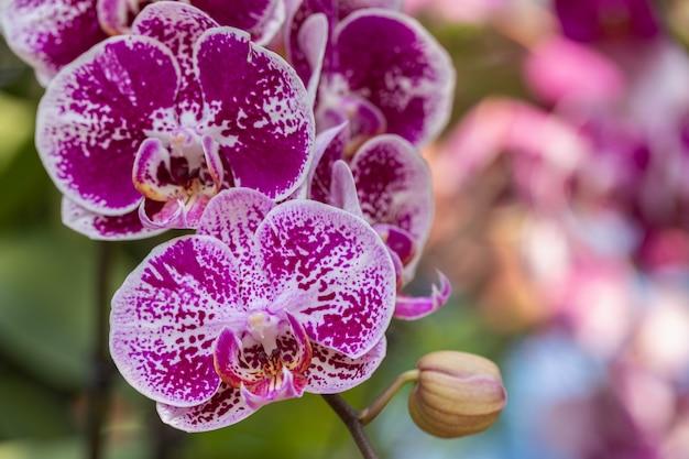 Kwiat orchidei w ogrodzie w zimowy lub wiosenny dzień. phalaenopsis orchidaceae