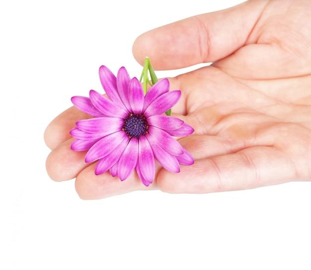 Kwiat osteospermum pod ręką jako prezent na urodziny na wiosnę.