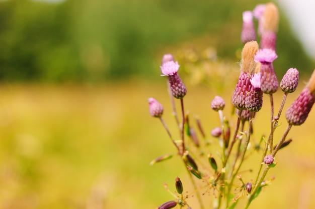 Kwiat ostu na łące. purpurowe lub różowe kwiaty z białym puchem na gałęzi.