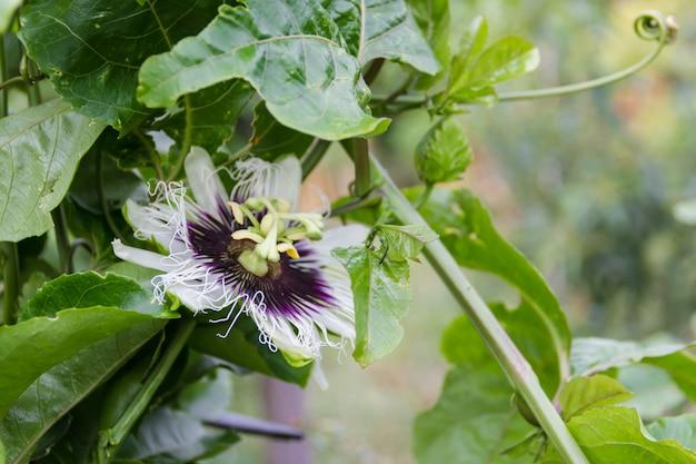 Kwiat pasji