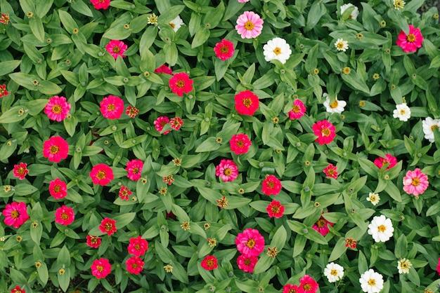 Kwiat piękne tło białe i różowe zinnias w letnim ogrodzie.