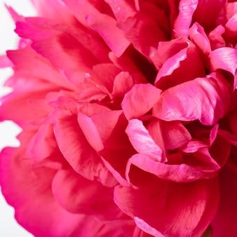 Kwiat piwonii fuksja na białym tle