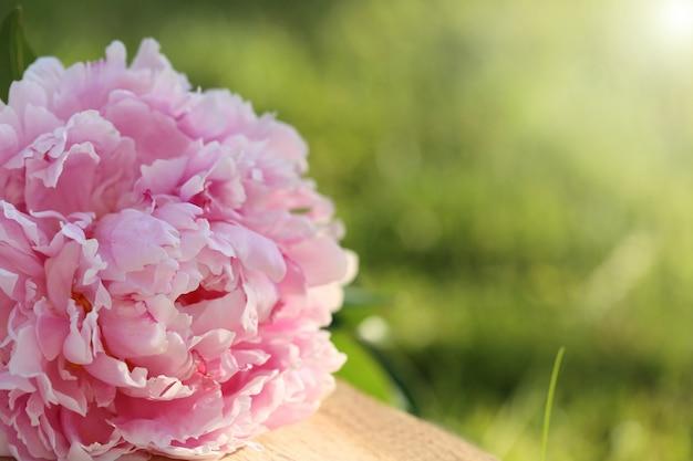 Kwiat piwonii. podwójny różowy bukiet piwonii z bliska z zielonymi liśćmi rano