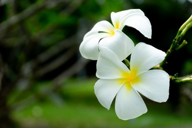 Kwiat plumerii