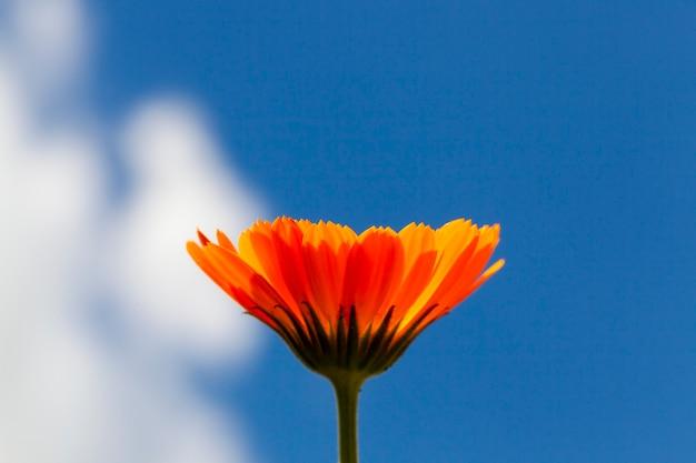 Kwiat pomarańczy nagietka, sfotografowany z bliska na tle nieba, mała głębia ostrości