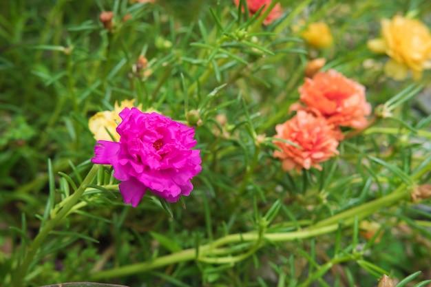 Kwiat portulaka tło