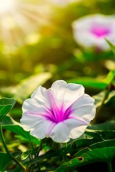 Kwiat powoju w porannym słońcu