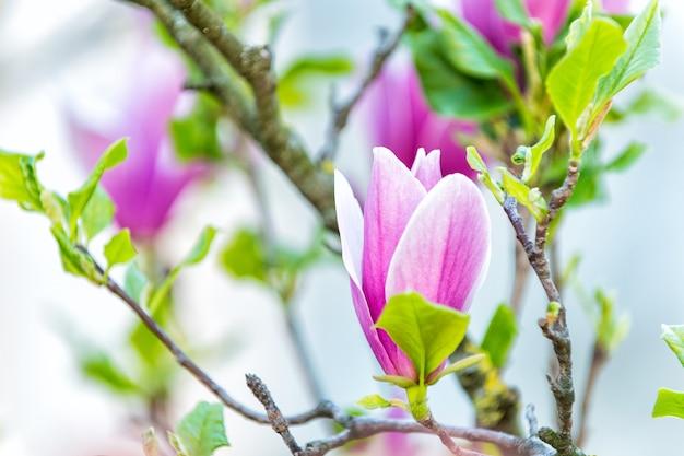 Kwiat purpurowej magnolii na gałęzi drzewa. kwiaty magnolii kwitnące na białym tle. wiosna przyroda, piękno, środowisko. szczęście, zdrowie, koncepcja siły życiowej