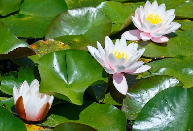 Kwiat różowa lilia wodna w parku.
