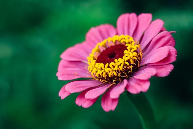 Kwiat różowy cynia z bliska. makro
